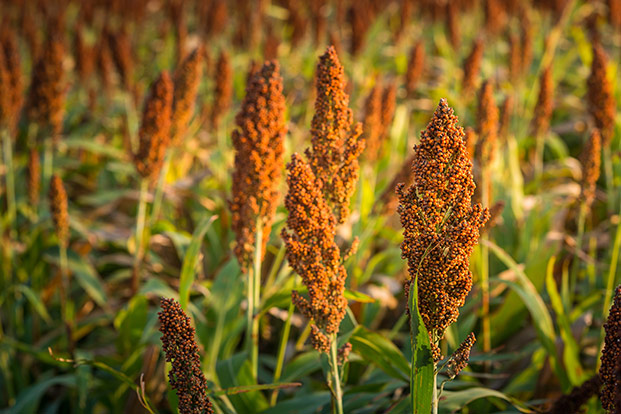 sorghum making headway in south africa pakhousebrands