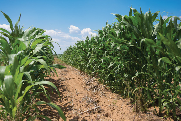Pakhouse-South-Africa's-Maize-Outputs